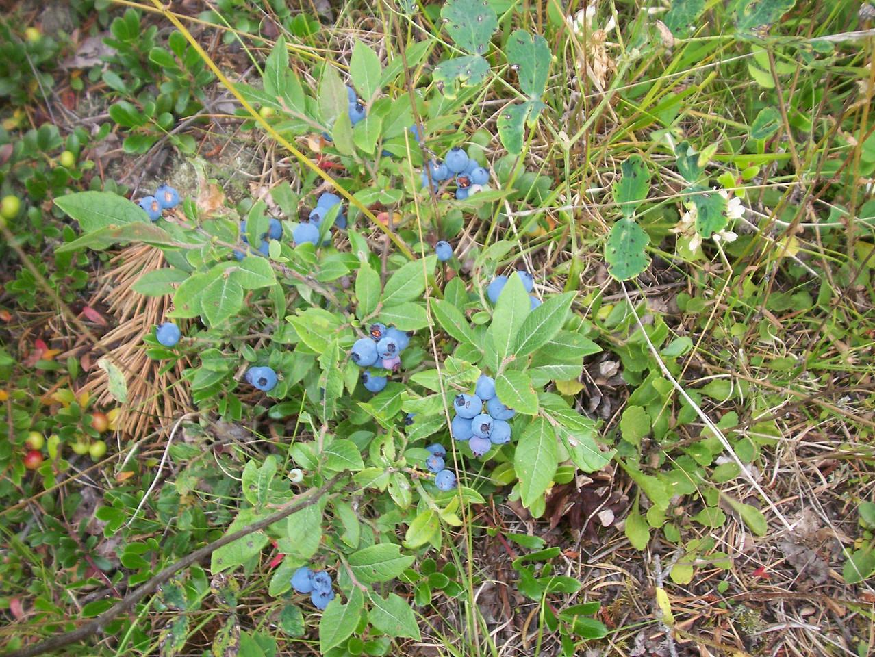 Wild blueberries.