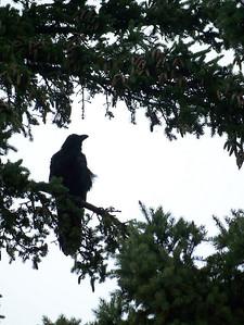 A huge raven.