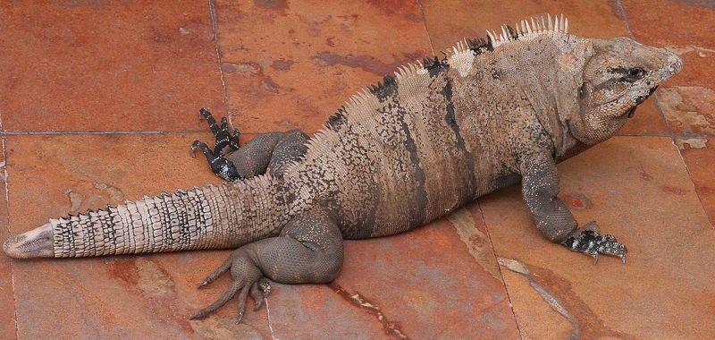 Iguana's were all around the hotel.