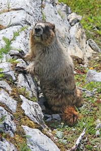 A friendly marmot posing for us.
