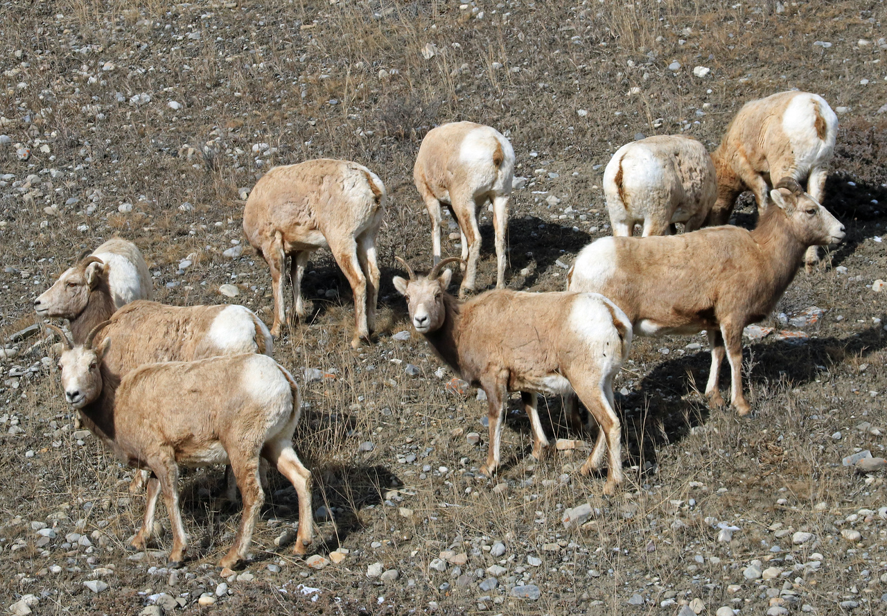 A small herd of bighorn sheep along the road.