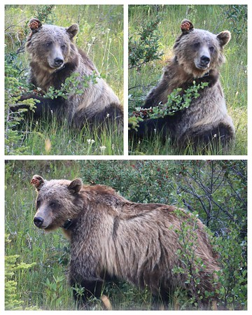 On our way to our hike (from the safety of our car) we saw this magnificent grizzly bear eating berries!  If you look closely at her ear, you will see she is bear 152.