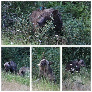 Momma Grizzly (Bear #104)...and her 3 cubs alongside of the road on the way to our hike today! The cubs were having fun eating berries and just rolling in the grass!