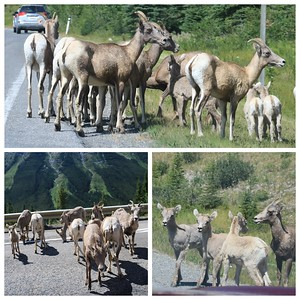 Some road hazards we encountered today...2 herds of big horn sheep with their babies!