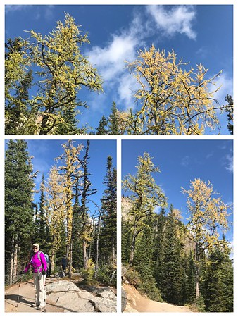 Hard to believe we started the day with rain and snow in Canmore...so we went up to Lake Louise and found the larches are turning yellow already!