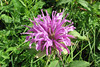 Wild bergamot....a member of the beebalm family.