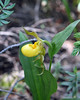 Yellow lady's slipper --- the end of their season.  This is one of only three we saw and the others were faded.
