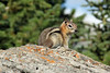 This golden mantled ground squirrel was very cooperative in posing for me.