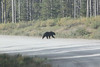 Our first bear of the trip....this one crossed the road far ahead of us.  Got a picture, but not a great one.