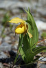 A delicate little Yellow Ladies Slipper - one of my favorite mountain flowers.