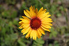 Gaillardia or Brown Eyed Susan.