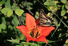 Wildflowers were abundant - this trail has a southern exposure so gets lots of sun and early snow melt, so some of the earliest wildflower growth.  Here a Western Wood Lily and just as I took the picture, a swallowtail butterfly landed.