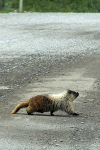 A large marmot crossing the road!