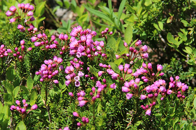 Mountain Red Heather