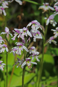 Roundleaf Orchid