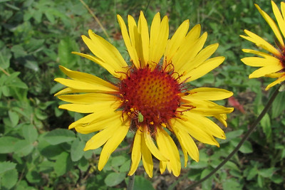 Brown Eyed Susan or Common Gaillardia -- note the tiny insect center left!