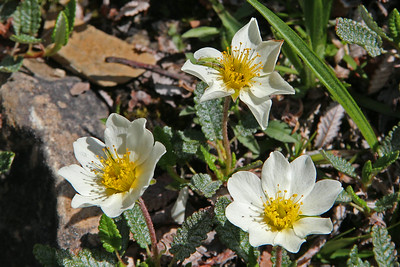 Eight-Petal Mountain Avens - a member of the Rose family.