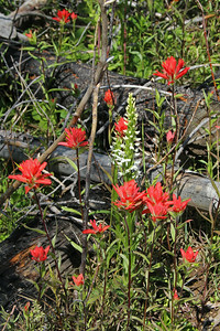 Indian Paint Brush (red) and Tall White Bog Orchid (white)