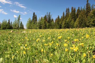 Glacier Lilies carpeted the shoreline at Chester Lake.  They are one of the first flowers to bloom after the snow melts.
