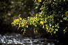 DSC_3477 sonoma leaves