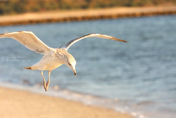 Gull at Kalmus Beach