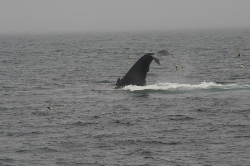 We saw as many as 30 whales off Cape Cod in May 2006.