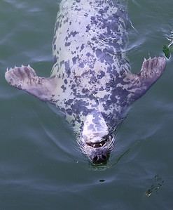 Grey seal, in Chatham area.