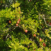 An Ackee tree, a West African tree with a fruit used in many Jamaican dishes.