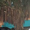 Banyan Tree in San Juan
