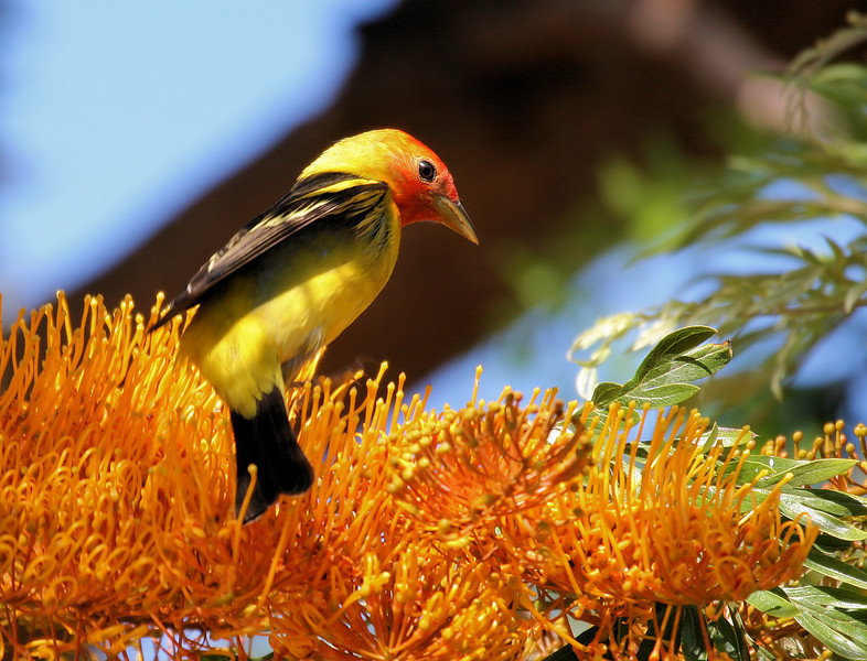 Western Tanager 11