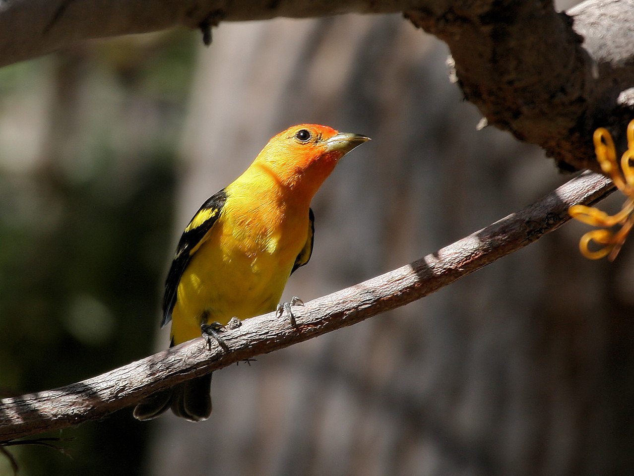 Western Tanager 4