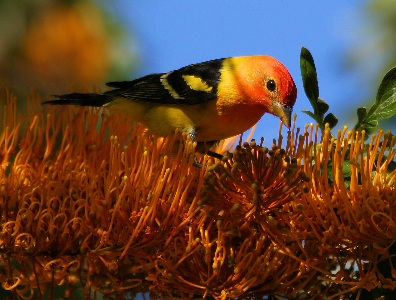 Western Tanager 6