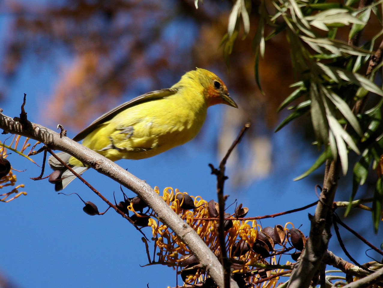 Western Tanager 9