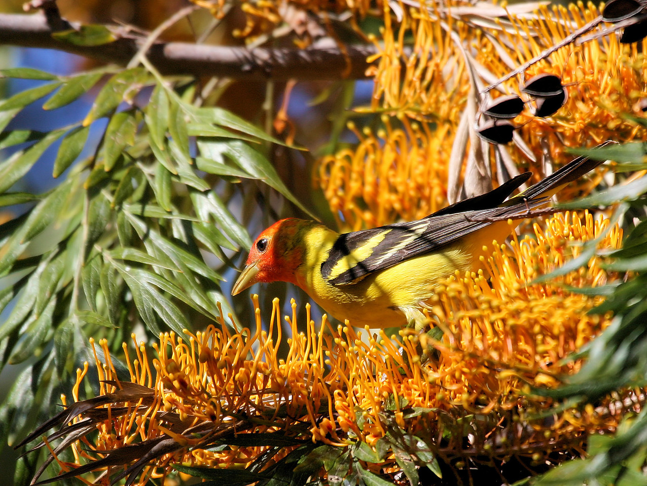 Western Tanager 10