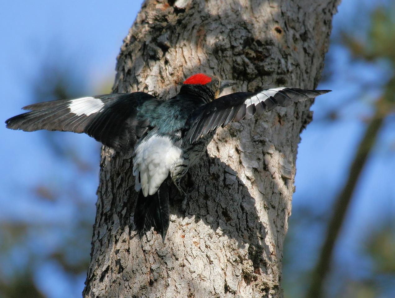 Acorn Woodpecker 5