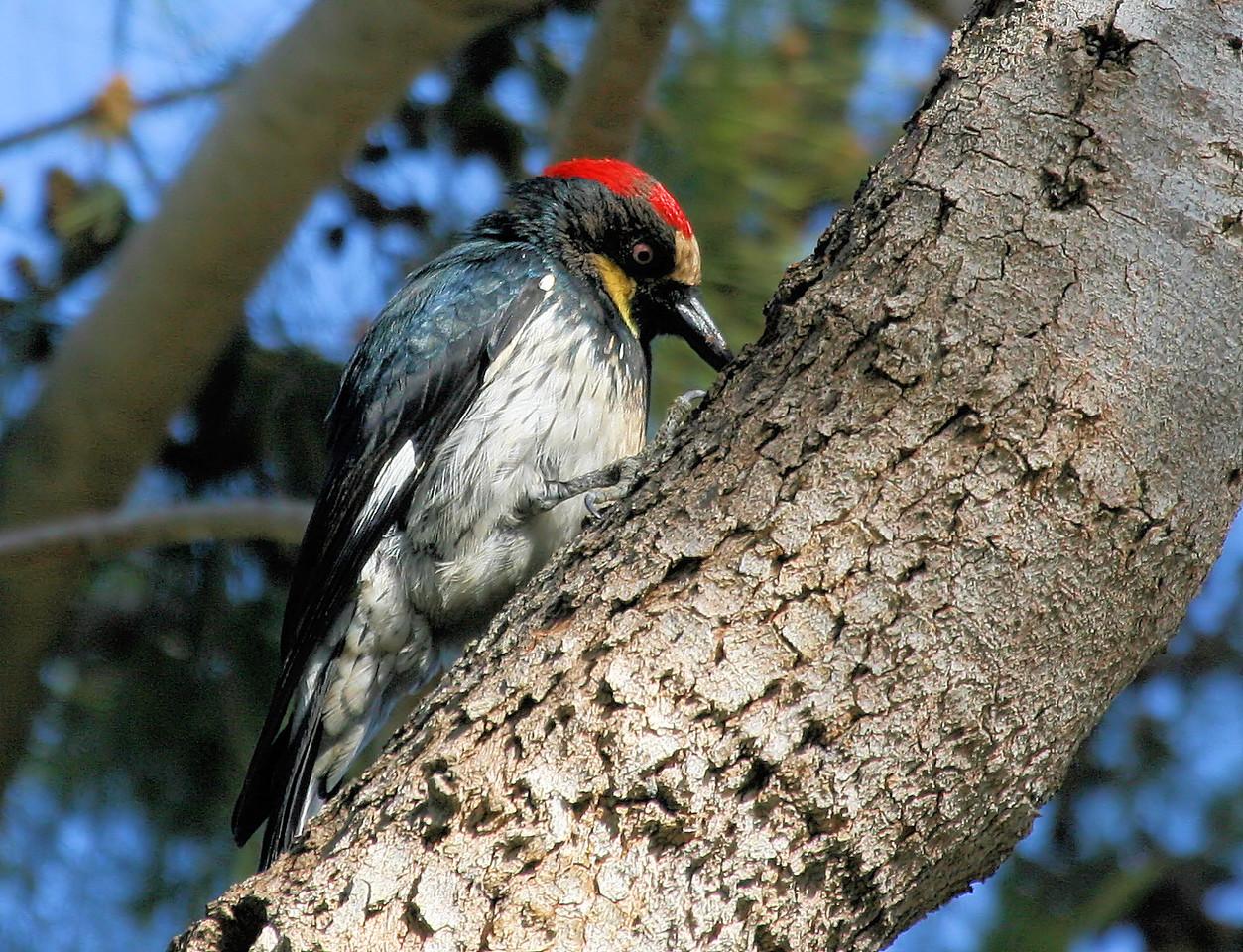 Acorn Woodpecker 4