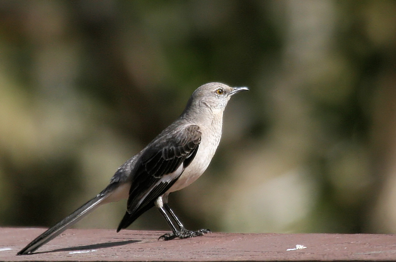 Picnic Mocking Bird