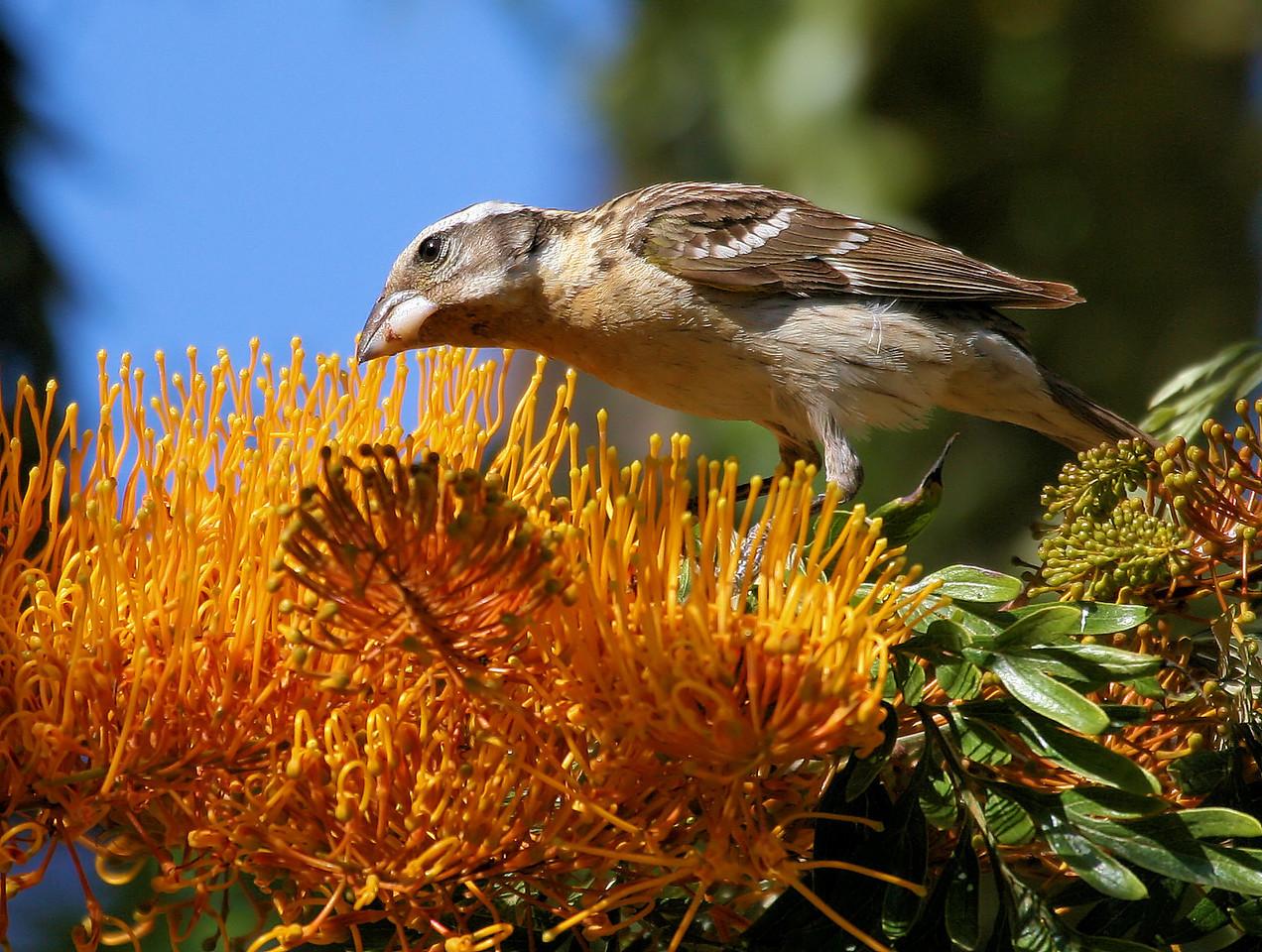 Female Grossbeak