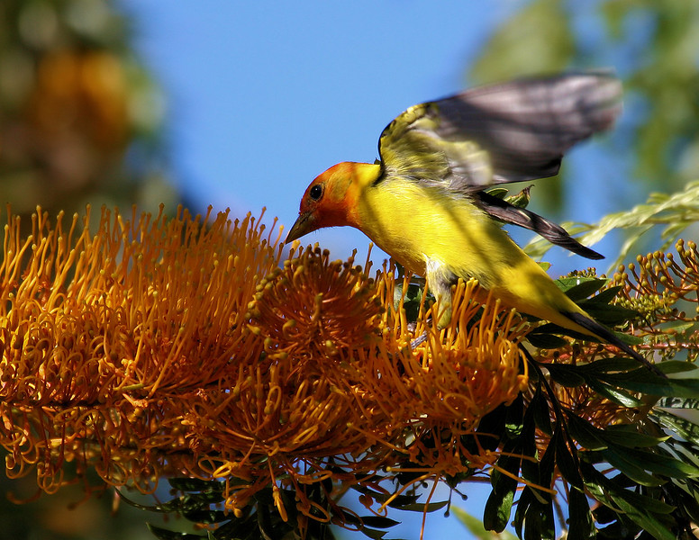 Western Tanager 7