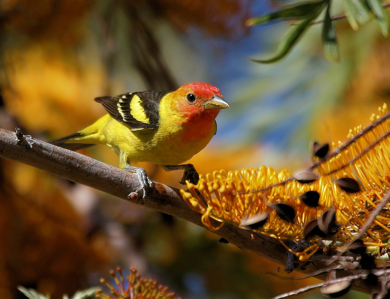 Western Tanager 5