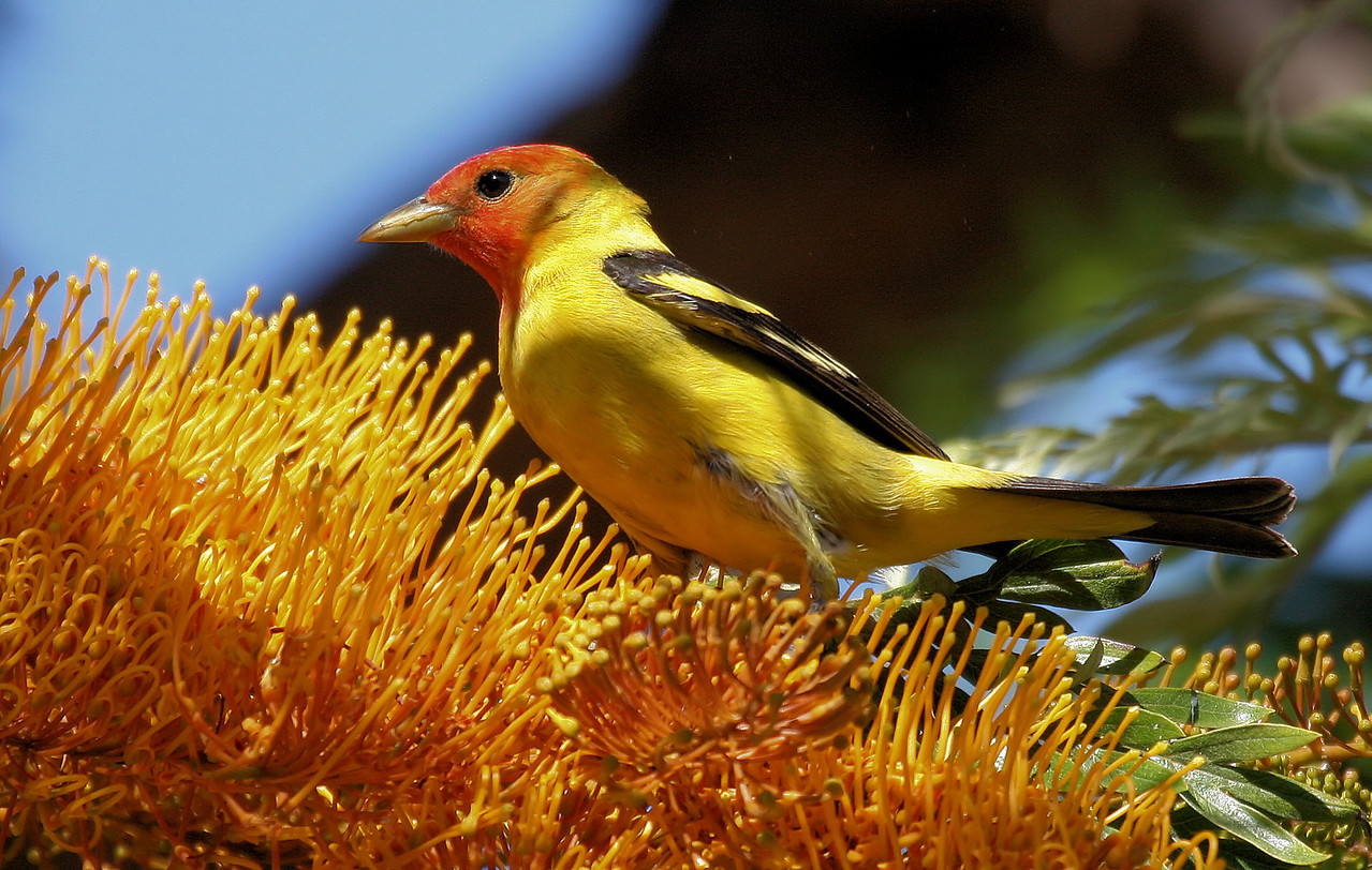 Western Tanager 2