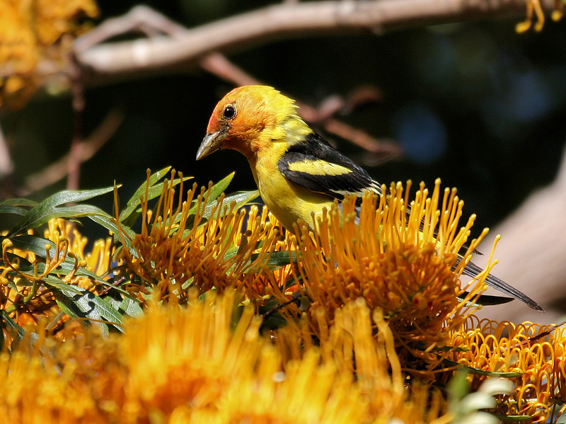 Western Tanager 8