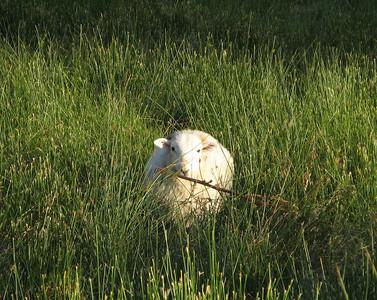 Hi sheep.