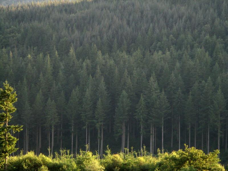 Pine plantation.