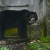 Captive Spectacled Bear at Reserve Rio Blanco