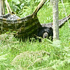A captive Spectacled Bear roused from his nap under his hammock.
