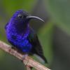 Violet Sabrewing (Campylopterus hemileucurus) Cinchona, Alajuela