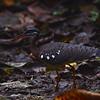 Sunbittern at La Selva OTS Reserve, Heredia