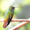 Coppery-headed Emerald at Cinchona, Alajuela