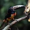 Collared Aracari (Pteroglossus torquatus) La Union, Limon